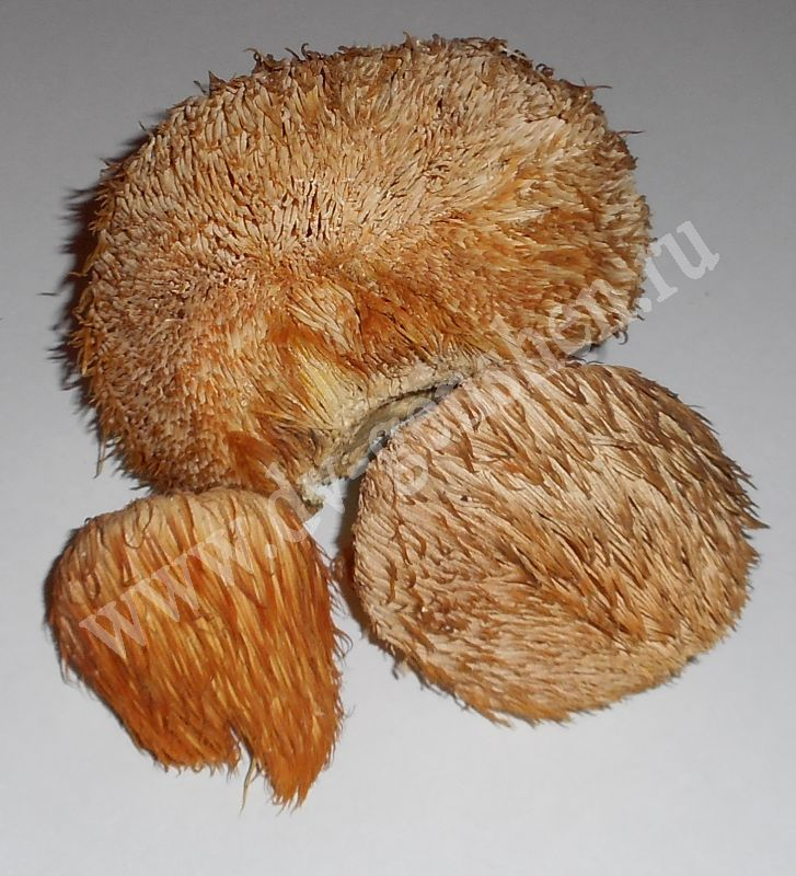 гриб дедова борода фото