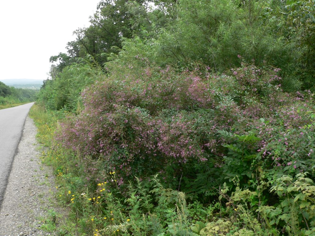 Леспедеца двуцветная выращивание из семян 73