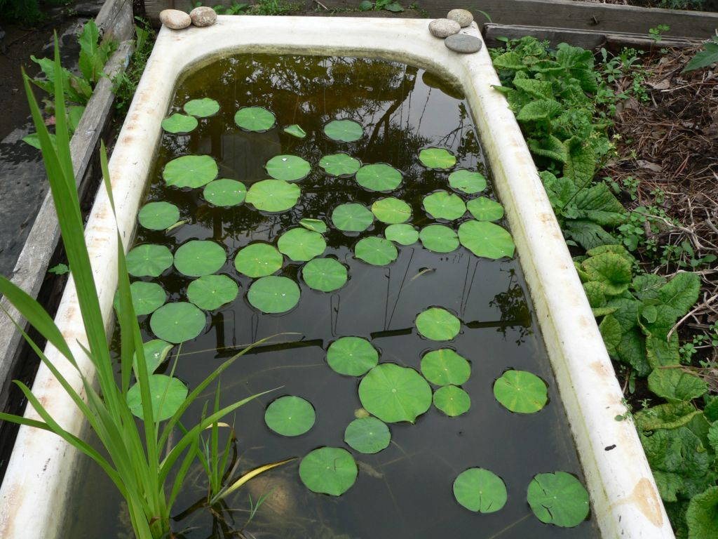 Выращивание водяных лилий из семян в домашних условиях 68
